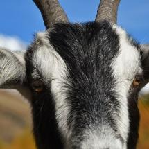 Cervi e caprioli nella Val Grande di Vezza d'Oglio